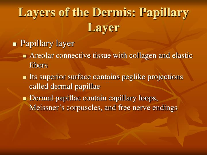 Layers of the Dermis: Papillary Layer