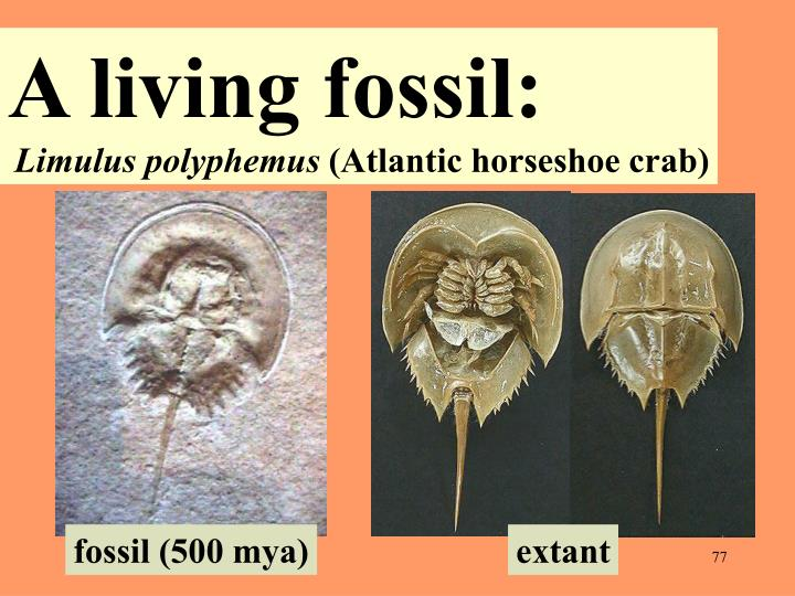 A living fossil: