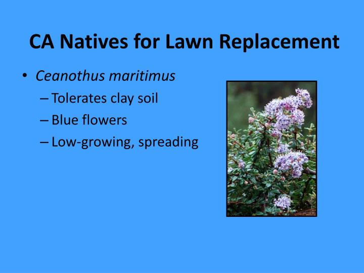 CA Natives for Lawn Replacement