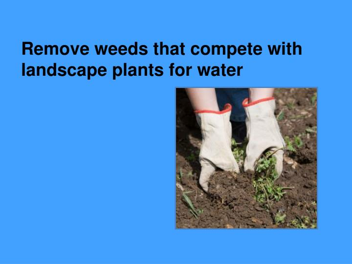 Remove weeds that compete with landscape plants for water