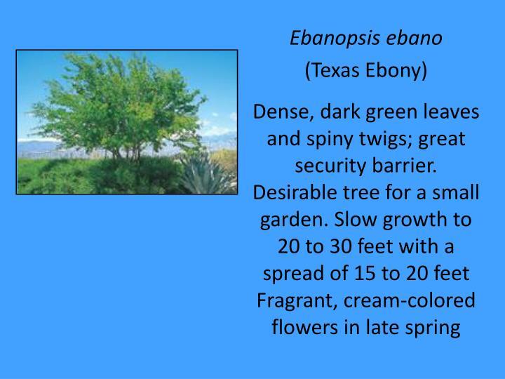 Ebanopsis