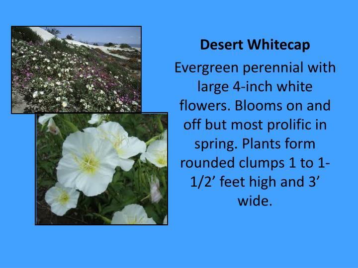 Desert Whitecap