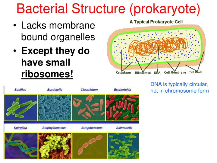 Bacterial Structure (prokaryote)