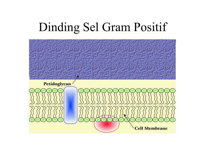 Dinding Sel Gram Positif