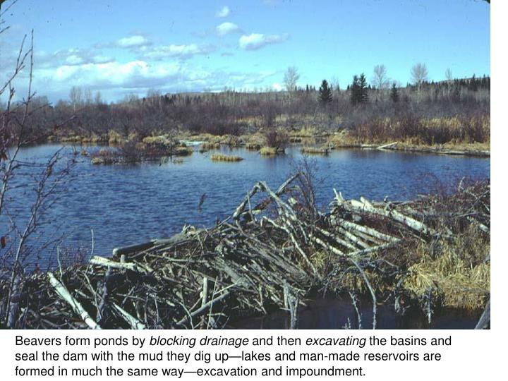 Beavers form ponds by