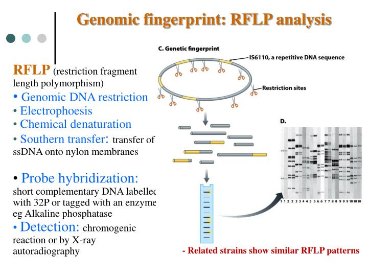 Genomic fingerprint: RFLP analysis