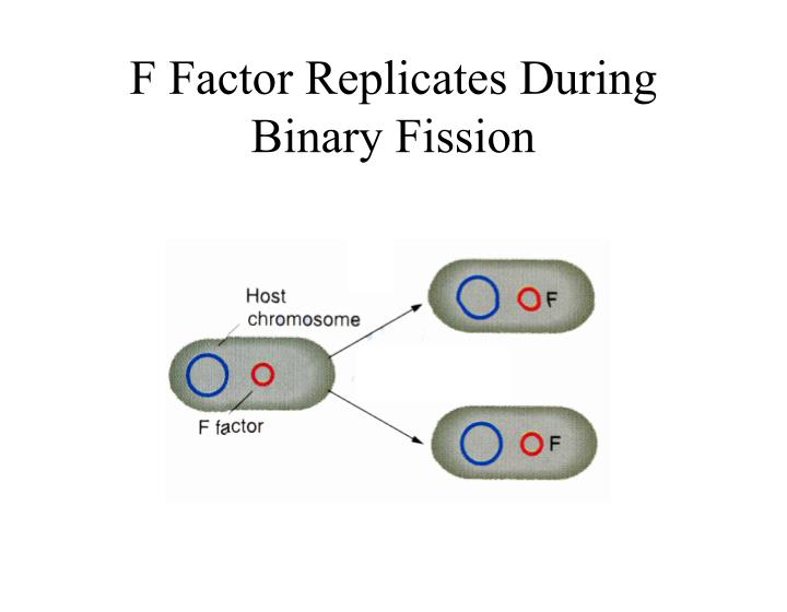 F Factor Replicates During Binary Fission