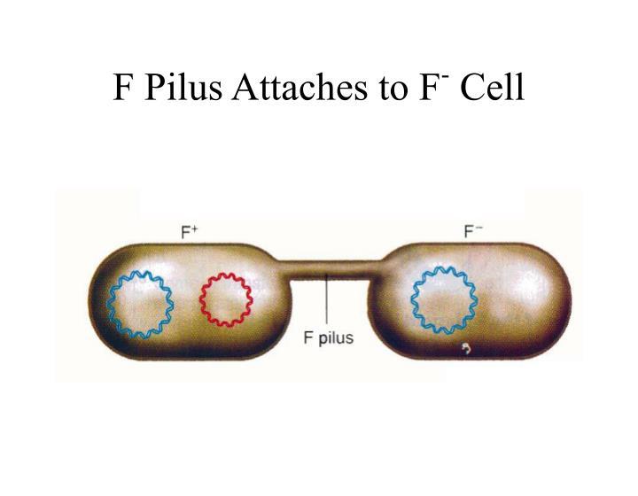 F Pilus Attaches to F