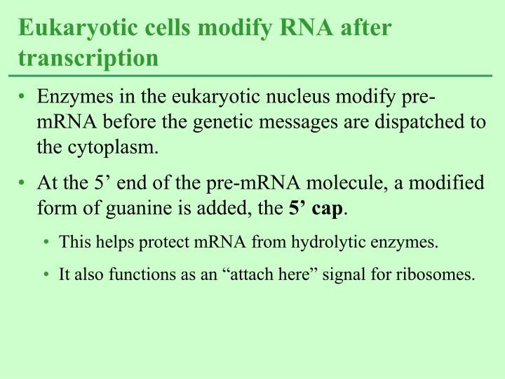 Enzymes in the eukaryotic nucleus modify pre-mRNA before the genetic messages are dispatched to the cytoplasm.