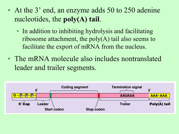 At the 3' end, an enzyme adds 50 to 250 adenine nucleotides, the