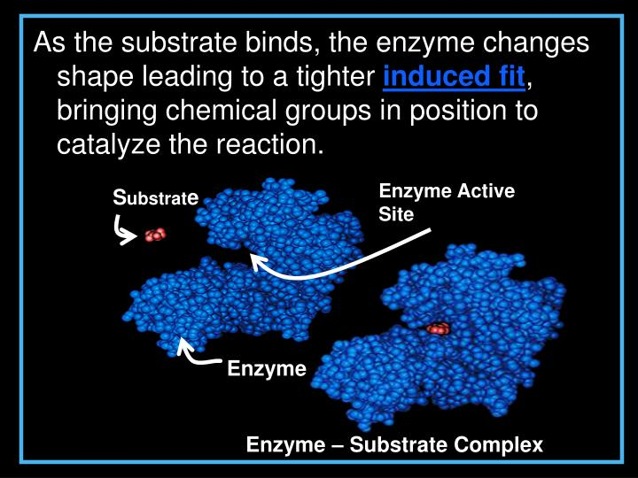As the substrate binds, the enzyme changes shape leading to a tighter