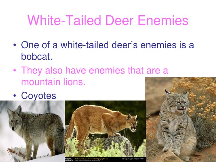 White-Tailed Deer Enemies