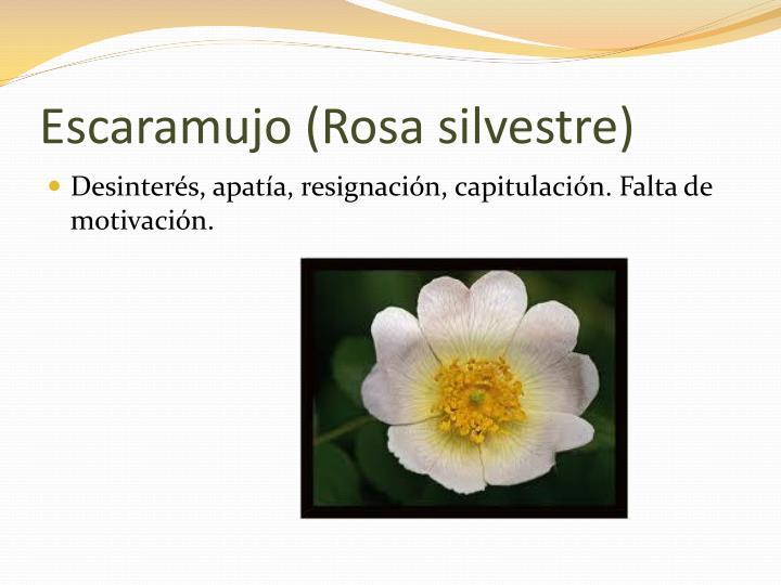 Escaramujo (Rosa silvestre)