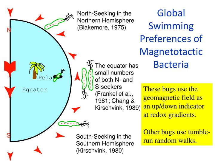 Global Swimming Preferences of Magnetotactic Bacteria
