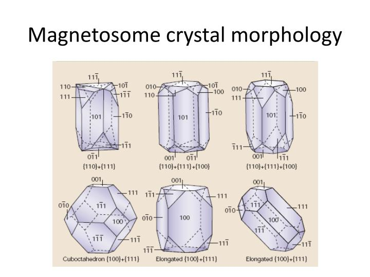 Magnetosome crystal morphology