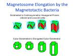 magnetosome elongation by the magnetotactic bacteria