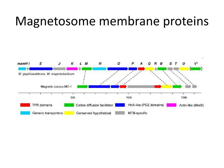 Magnetosome membrane proteins