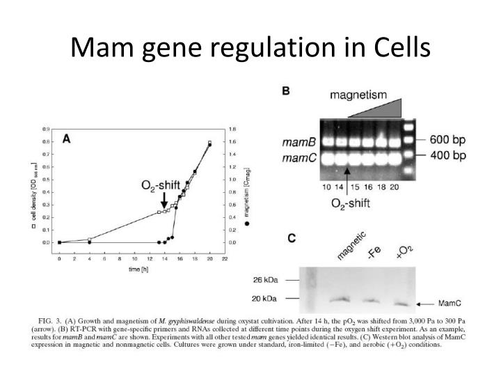 Mam gene regulation in Cells