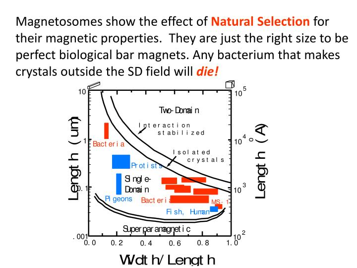 Magnetosomes show the effect of