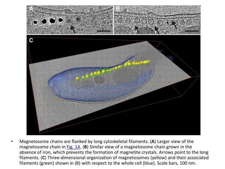 Magnetosome
