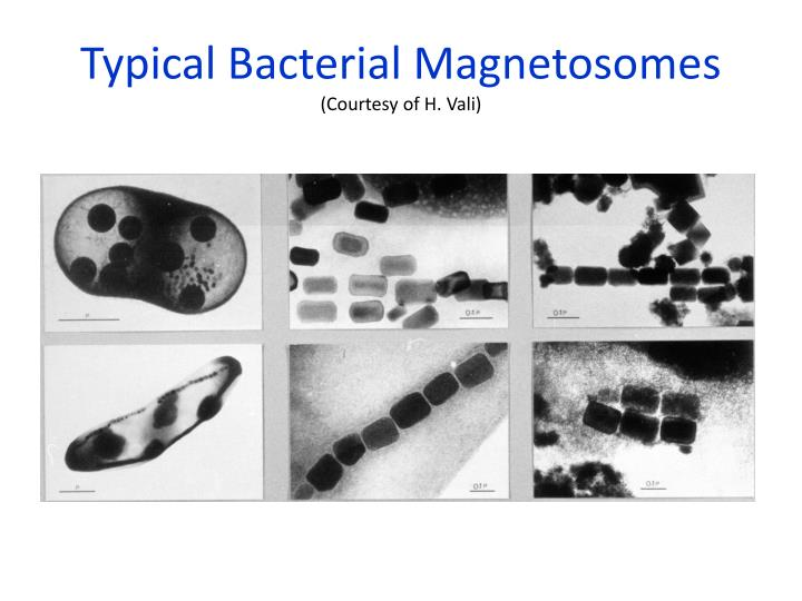Typical Bacterial Magnetosomes