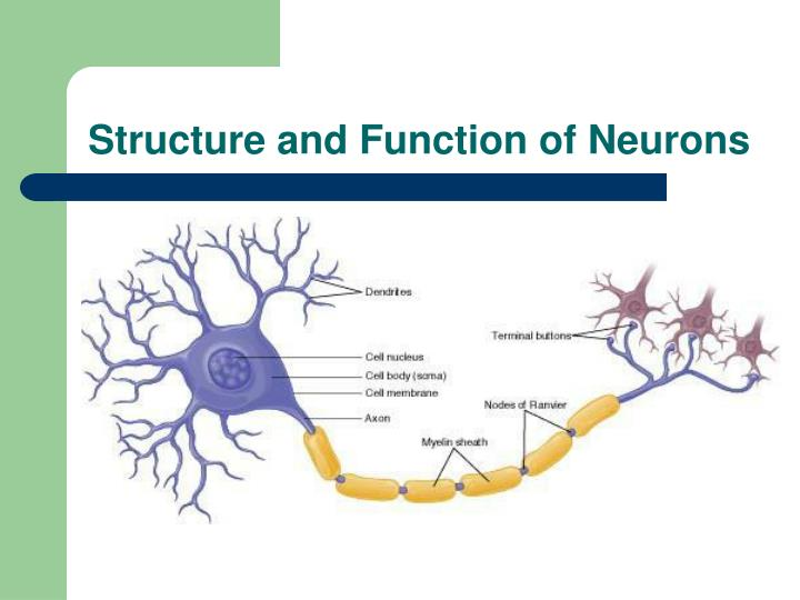 Structure and Function of Neurons