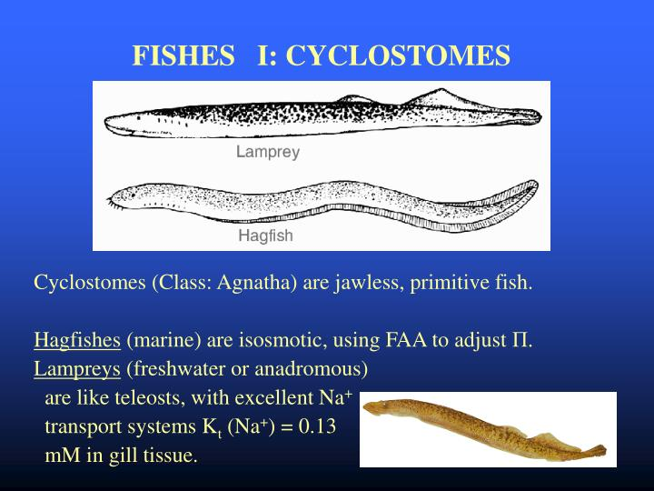 FISHES   I: CYCLOSTOMES