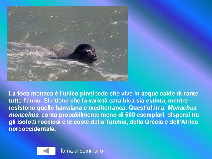 La foca monaca è l'unico pinnipede che vive in acque calde durante tutto l'anno. Si ritiene che la varietà caraibica sia estinta, mentre resistono quelle hawaiana e mediterranea. Quest'ultima,