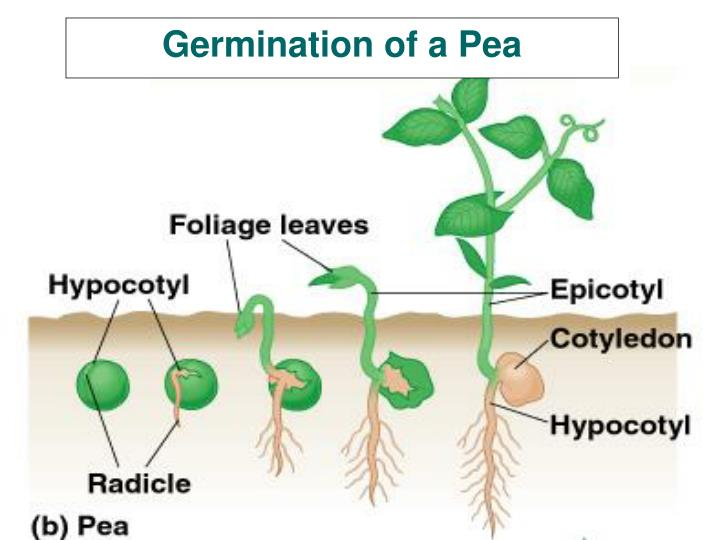 Germination of a Pea