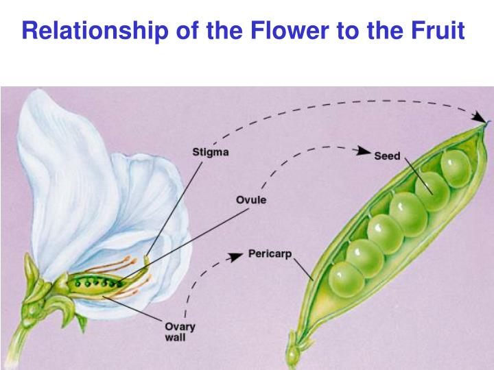 Relationship of the Flower to the Fruit