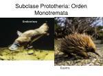 subclase prototheria orden monotremata