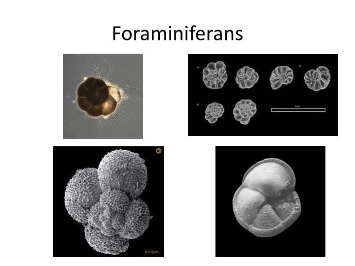 Foraminiferans