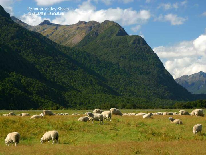 Eglinton Valley Sheep
