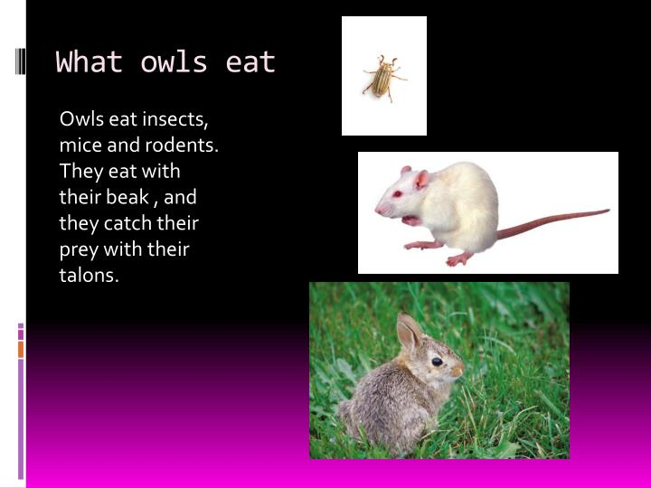 What owls eat