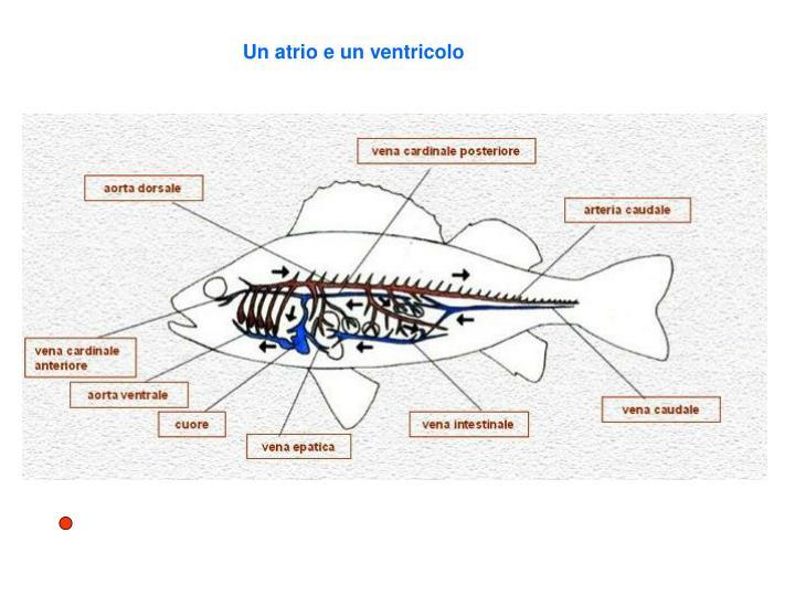 Un atrio e un ventricolo