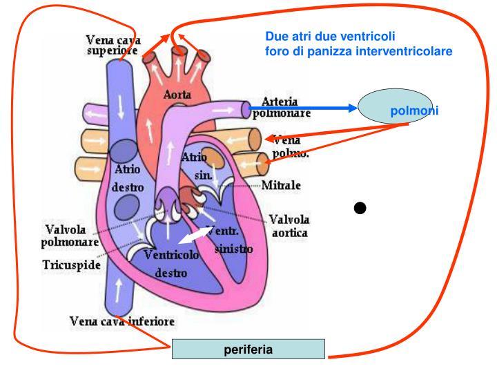 Due atri due ventricoli