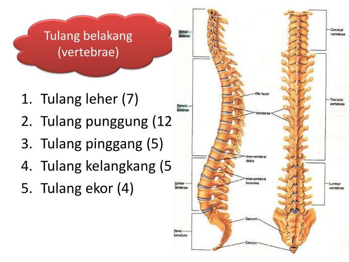 Tulang belakang (