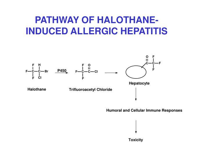 PATHWAY OF HALOTHANE-INDUCED ALLERGIC HEPATITIS