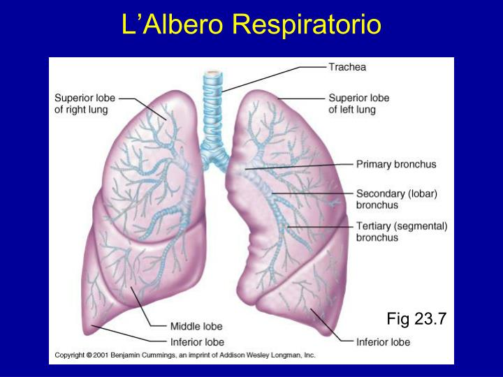 L'Albero Respiratorio
