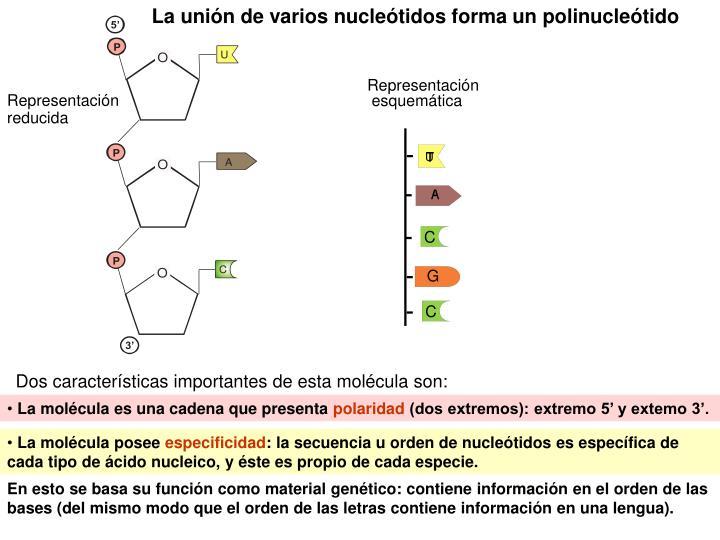 La unión de varios nucleótidos forma un polinucleótido