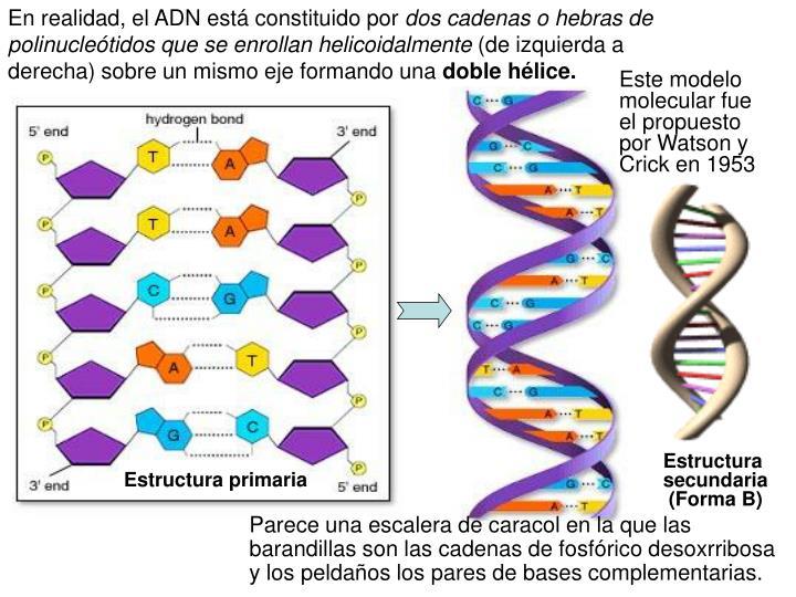 En realidad, el ADN está constituido por