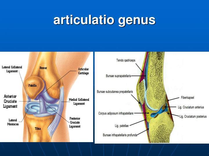 articulatio genus