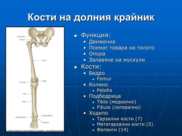 Кости на долния крайник