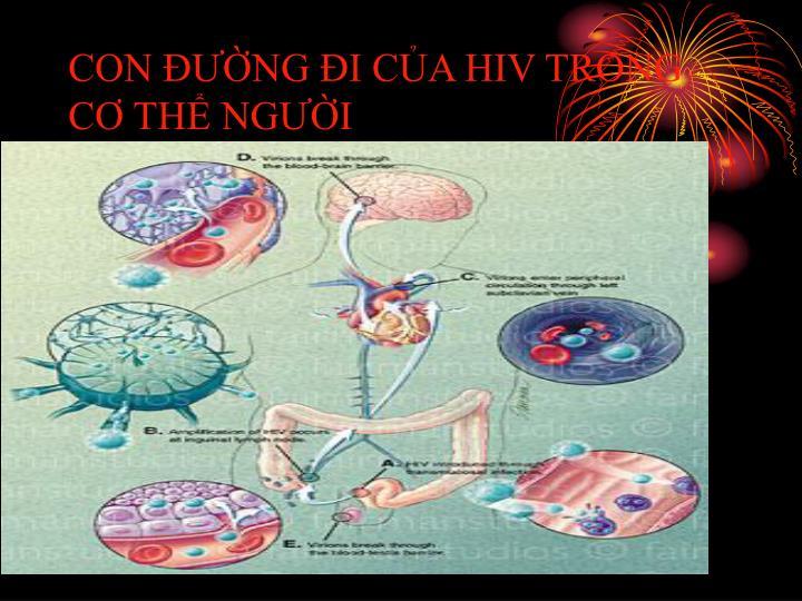 CON ĐƯỜNG ĐI CỦA HIV TRONG CƠ THỂ NGƯỜI