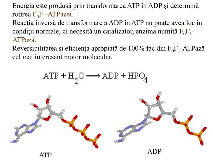 Energia este produsă prin transformarea ATP în ADP şi determină rotirea