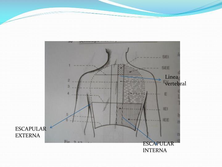 Linea vertebral