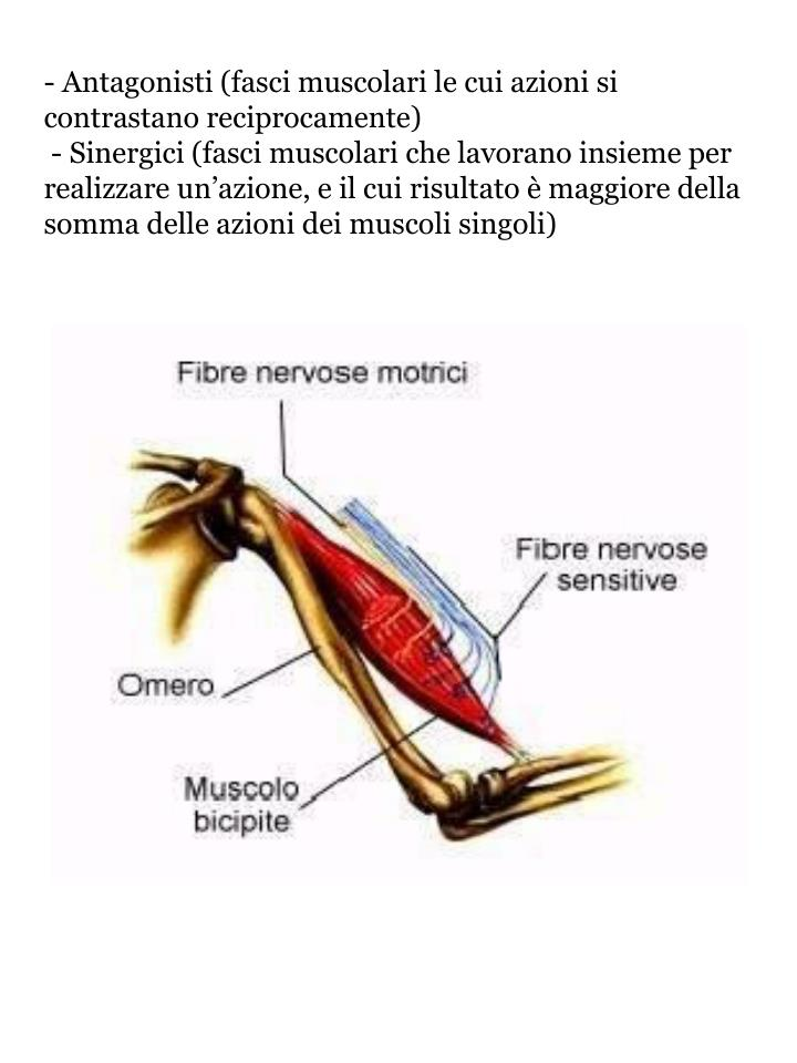 - Antagonisti (fasci muscolari le cui azioni si  contrastano reciprocamente)