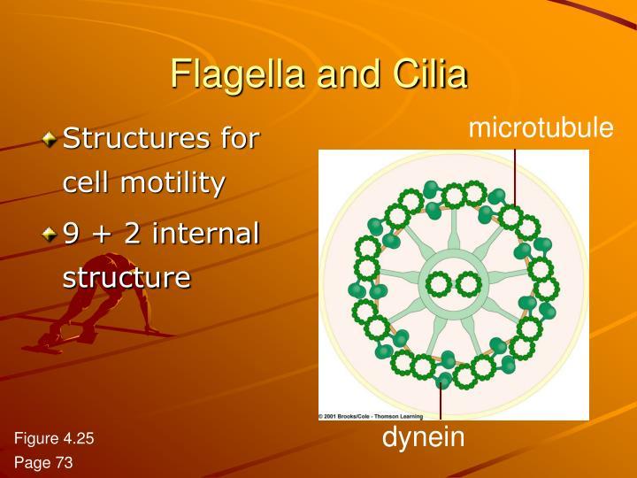 Flagella and Cilia