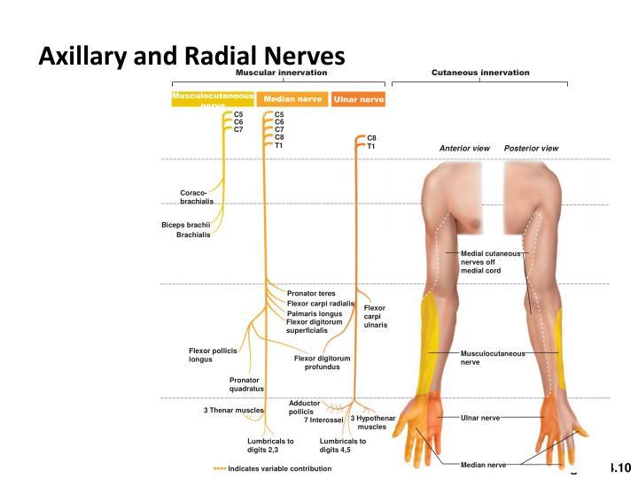 Muscular innervation