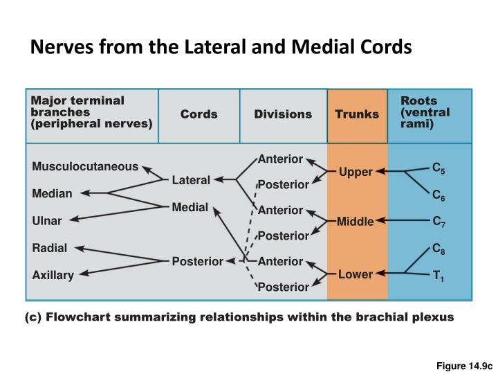 Nerves from the Lateral and Medial Cords